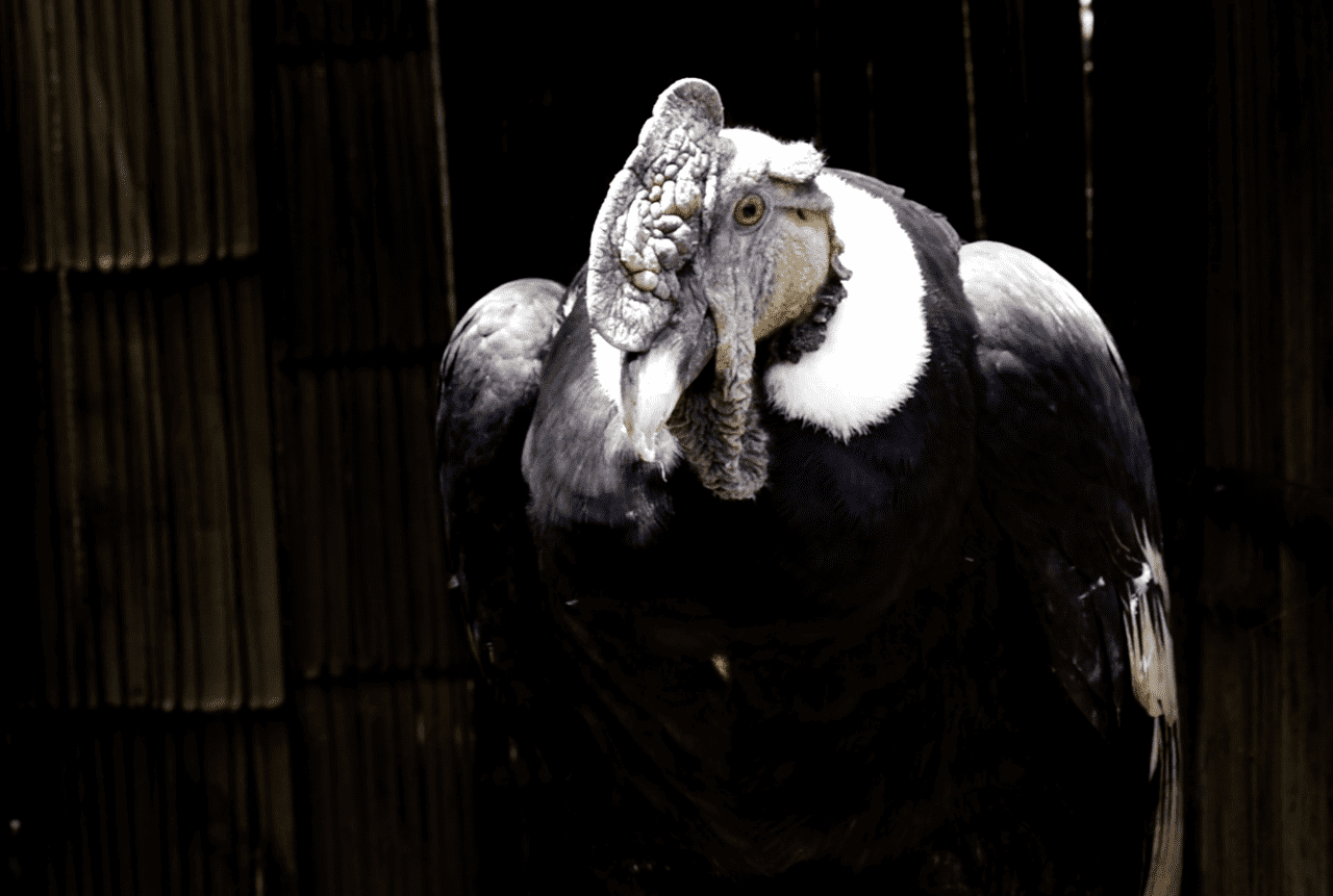 Zoológico de Quito confirma recuperación de cóndor Iguiñaro y alista su pronta liberación