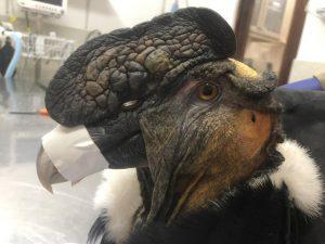 Cóndor Silvestre fue rescatado por Zoológico de Quito y se mantiene con pronóstico reservado