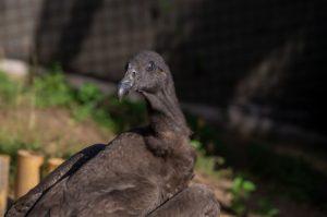 Pichón de cóndor andino llega al Zoo de Quito para rehabilitación