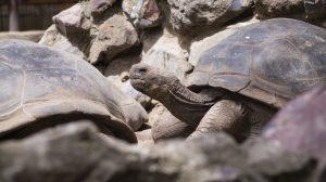 Zoo de Quito impulsa campaña contra el tráfico y mascotización de tortugas