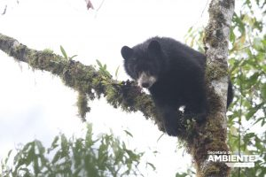 Zoo de Quito y Municipio Capitalino inician campaña para la protección de Osos y Cóndores de la ciudad