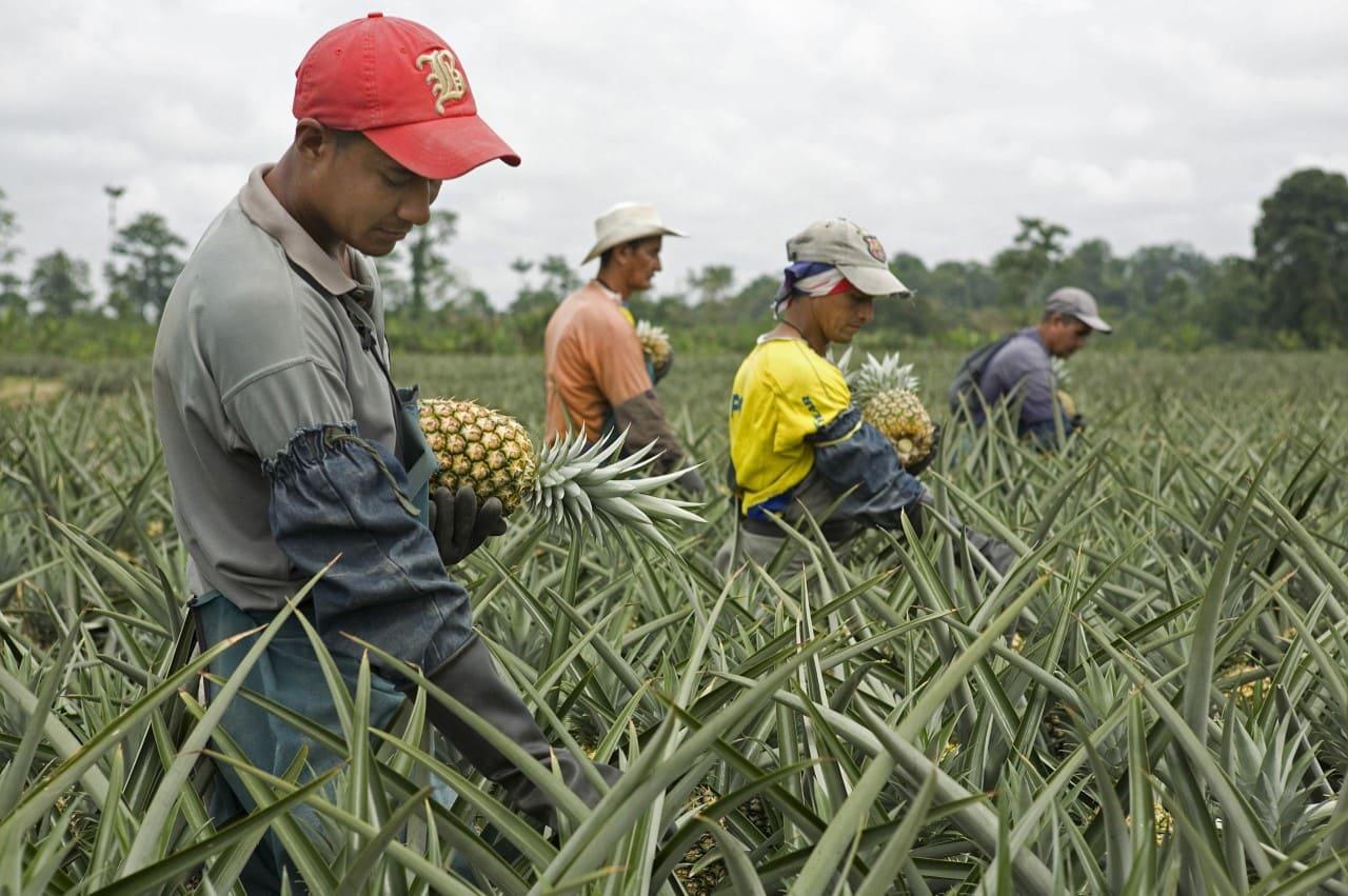 Ecuador es pionero en la producción de la primera Piña Carbono Neutro del mundo